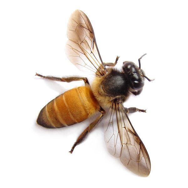 Европа търси спешно 7 милиарда пчели